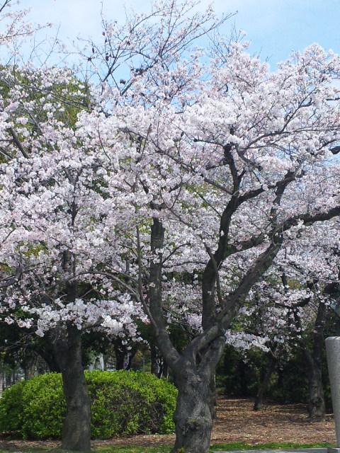 桜満開の入学式。
